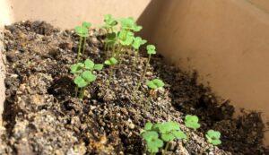 Как вырастить руколу дома