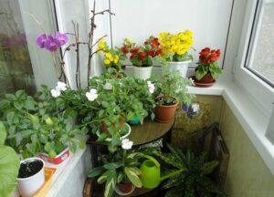 Растения на балконе: уход и полив