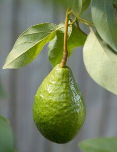 Выращивание авокадо из косточки дома