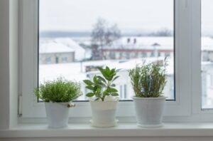 Как вырастить розмарин в квартире
